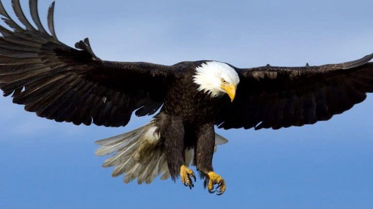 Eagle - Đại Bàng